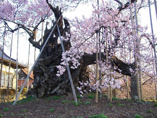 神代桜.jpg